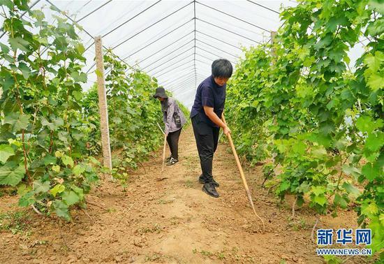 8月20日,李泽岩(右)与伙伴一起在农场的葡萄大棚内除草。 新华社记者杨世尧摄