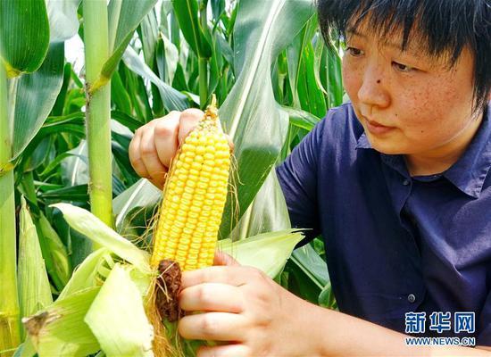 """8月20日,李泽岩在农场查看优质玉米的长势。 1986年出生的李泽岩是土生土长的河北省秦皇岛市抚宁区人。2014年从美国留学回国后她在北京一家旅行公司工作。一年后,始终被""""绿色农业发展梦""""萦绕的李泽岩辞掉工作回到家乡,与朋友联合流转了30亩土地,办起家庭农场——秦山农场,种植绿色无公害有机蔬菜、水果。 经过3年多的努力,秦山农场已扩展到60多亩土地,同时李泽岩带动周边农户调整农业种植结构,示范推广绿色无公害蔬菜面积达200多亩,提高了农民收入。秦山农场也先后被河北省妇联和秦皇岛市妇联命名为""""河北省巾帼现代化农业科技示范基地""""和""""秦皇岛市巾帼现代化农业科技示范基地""""。 新华社记者杨世尧摄"""