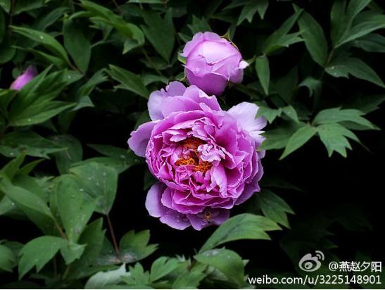 紫色牡丹花开争艳 新浪微博:@燕赵夕阳