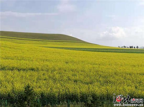 图为油菜花盛开的沽源坝上草原景色。 记者高振发、刘雅静摄