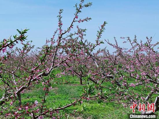 中国仙桃之乡河北省乐亭县6万亩桃花竞相开放。 白云水 摄