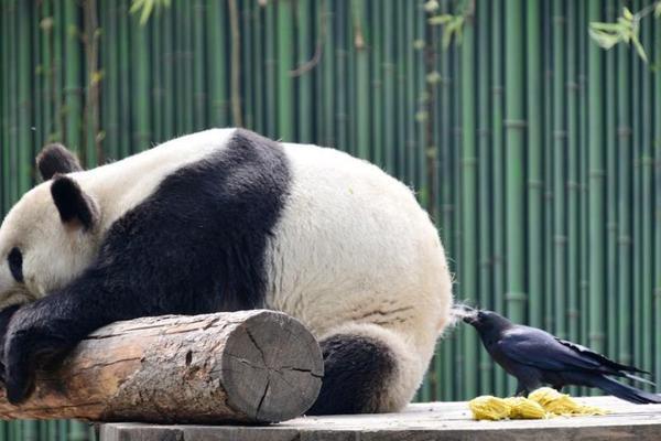 调皮乌鸦拔大熊猫毛发搭窝