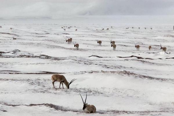 可可西里千只藏羚羊雪中觅食