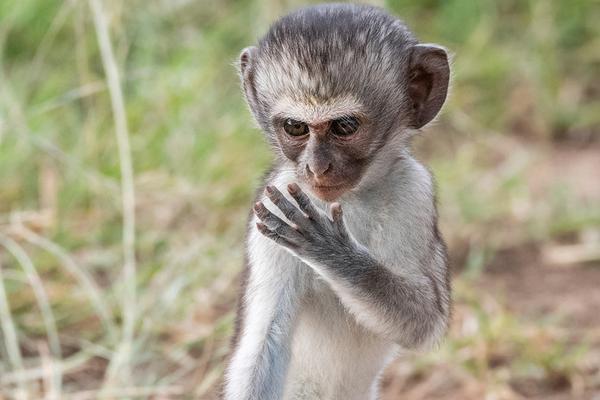 非洲草原猴潜心练习功夫
