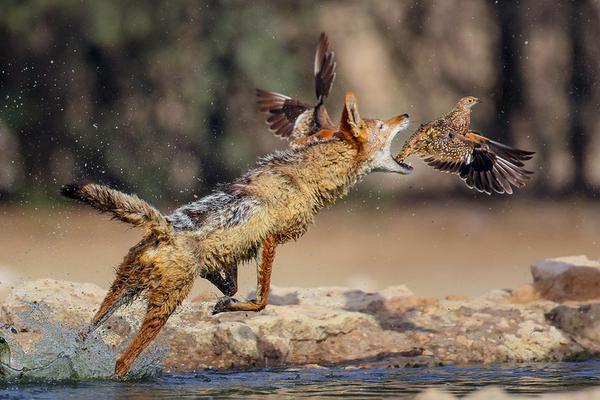 南非豺突袭捕食鸟儿