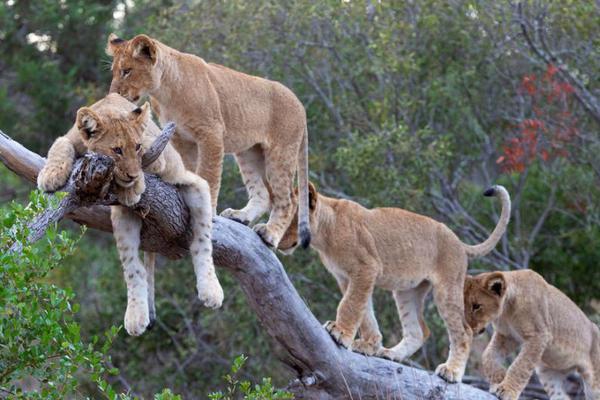 狮子宝宝表演排排站