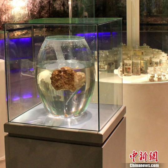巨型羊肚菌展览 孙钎溧 摄