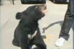 黑熊宝宝下山觅食 吃馒头麻花不怕人