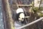 野生大熊猫渡河失败 被冲到水电站后获救