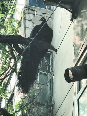 桥口街12号楼居民惊喜地发现——楼外大树上,漂亮孔雀栖枝头。