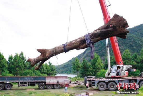 江西横峰挖出巨型阴沉木 17米大树埋藏河底千年