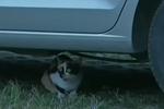 河北秦皇岛:小猫被困车底 众人合力营救