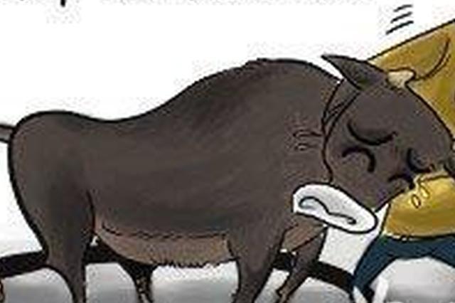 保定:600多斤的大黑牛跑了 派出所紧急出动抓牛