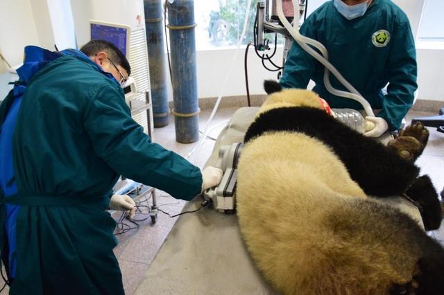 两只大熊猫体检完毕 即将放归大自然