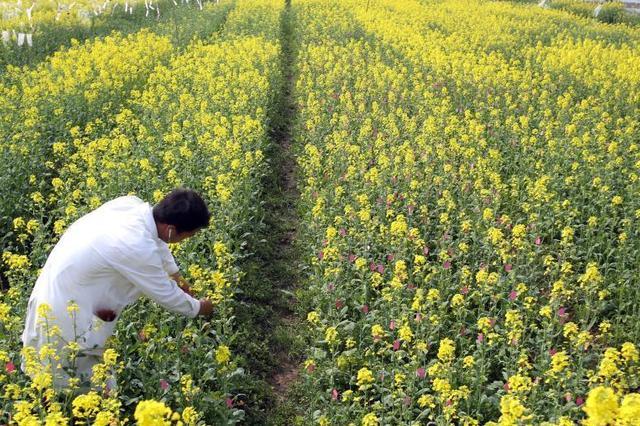 武汉一大学试验基地油菜花盛放 金色花海引游人