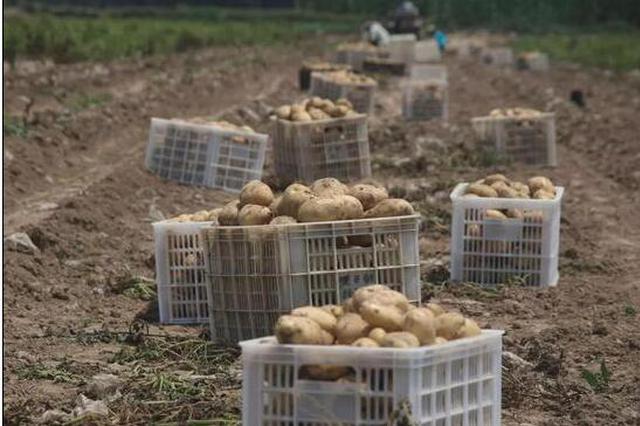 承德围场200万斤土豆滞销 地窖堆成山开始出芽