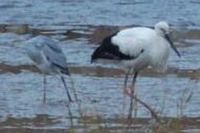 唐山:发现东方白鹳繁殖种群 为一级重点保护动物