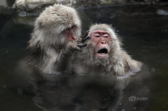 日本猕猴泡露天温泉 表情销魂分外享受