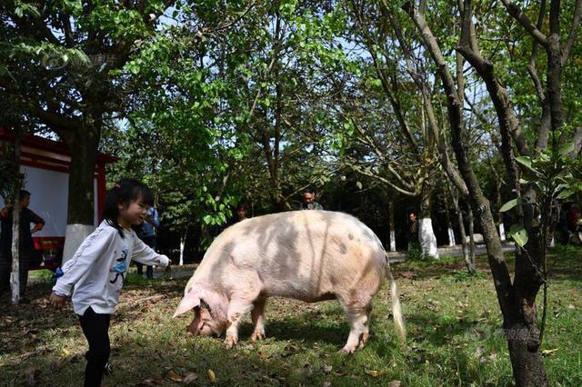 """""""猪坚强""""受伤后""""满血复活"""" 恢复每天两次散步计划"""