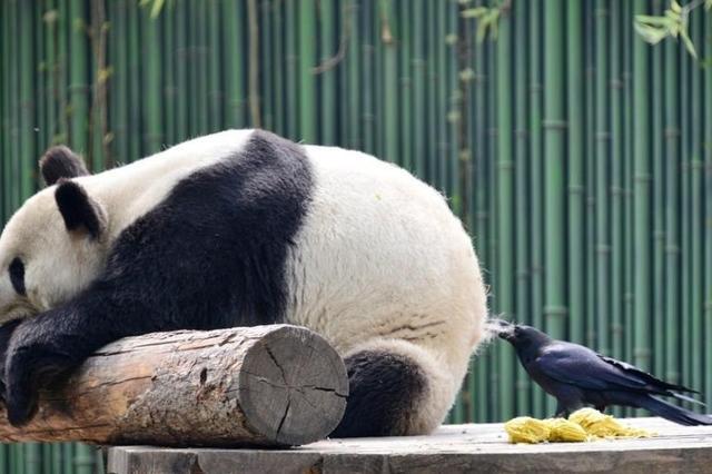 调皮乌鸦拔大熊猫毛发搭窝 画面令人忍俊不禁