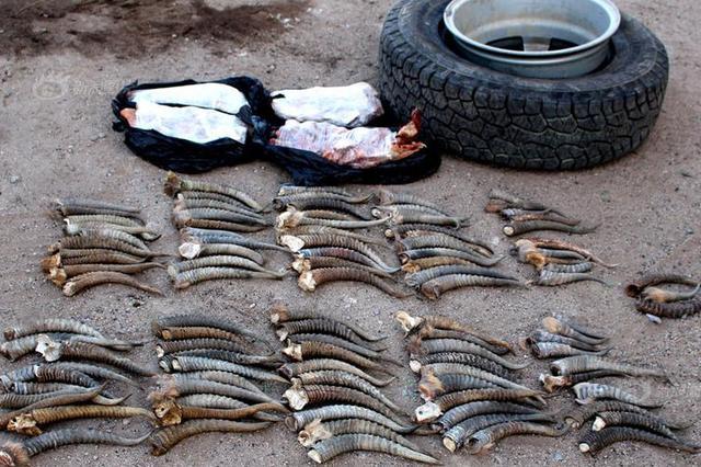 海关查藏匿动植物制品案 车胎中藏103根黄羊角