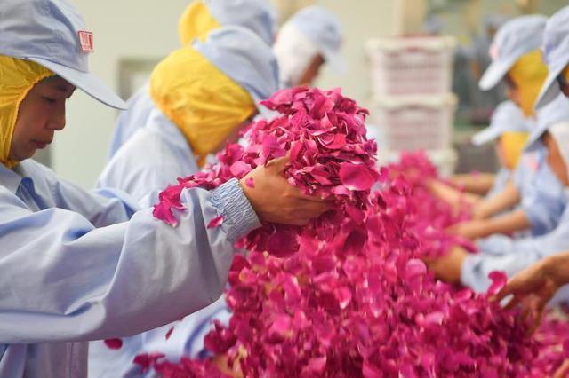 云南万亩食用玫瑰进入盛花期 开启甜蜜芬芳之旅