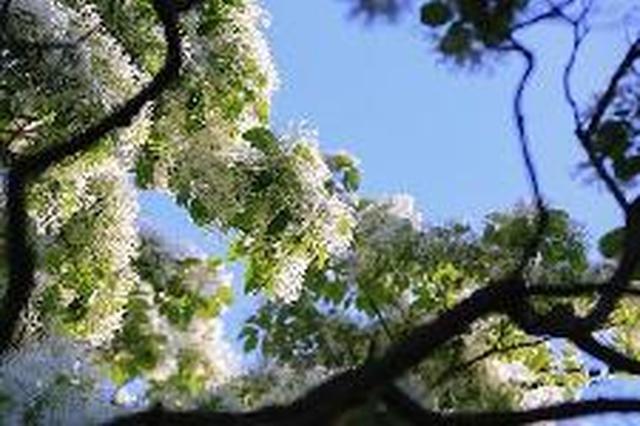 河北涉县发现大面积野生流苏树群落 有植株上百棵