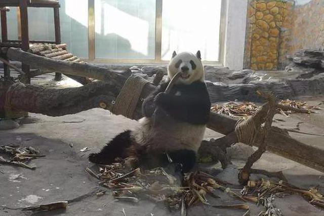 约起来 唐山人在家门口就能看大熊猫啦