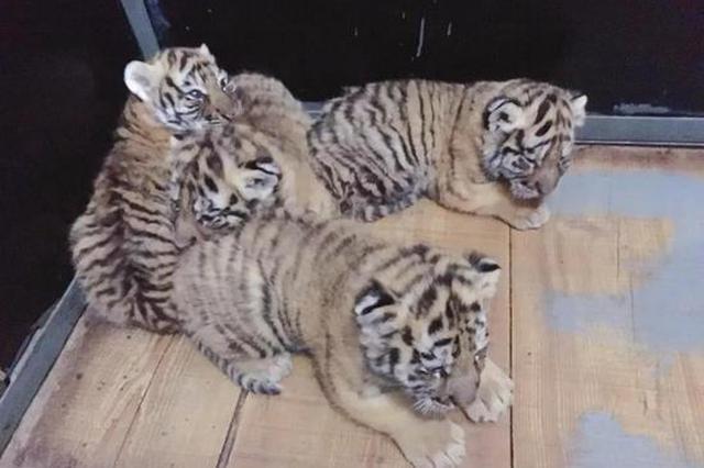 """沧州""""虎妈""""产下四胞胎 现给四个小家伙征名"""