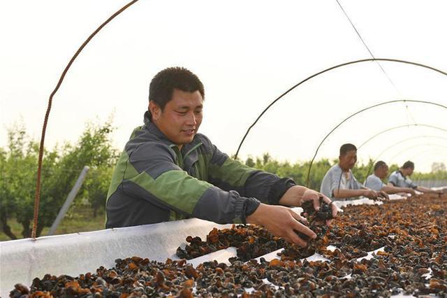 """河北辛集食用菌种植""""变废为宝""""效益增"""