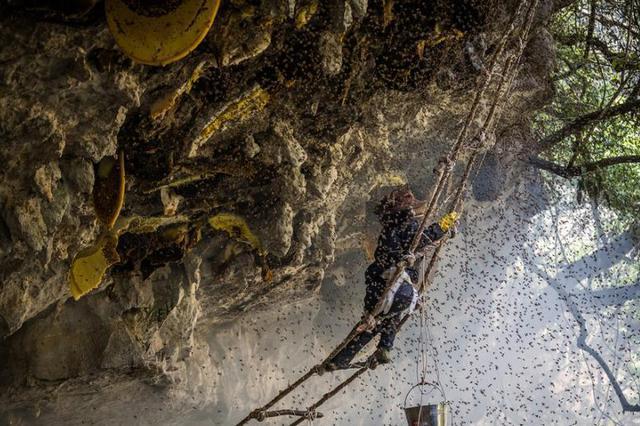 悬崖上的采蜜人 与几万只杀人蜂群在高空斗智斗勇