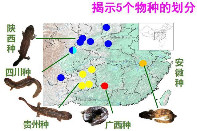 """科学家发现多个大鲵隐存种 破""""中国大鲵单物种"""""""