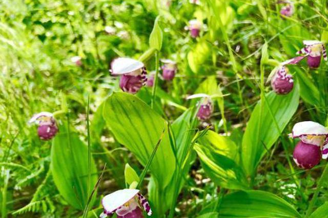 河北丰宁现千余株国家濒危植物紫点杓兰