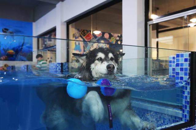 杭州一宠物游泳池火了 狗狗208元游一次