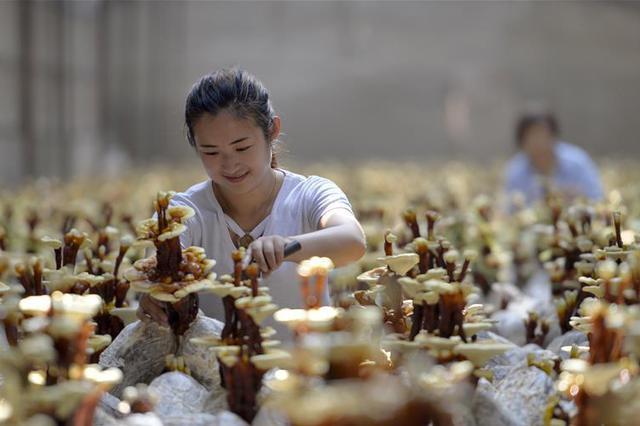 河北广宗:种植特色灵芝开辟富农新路径