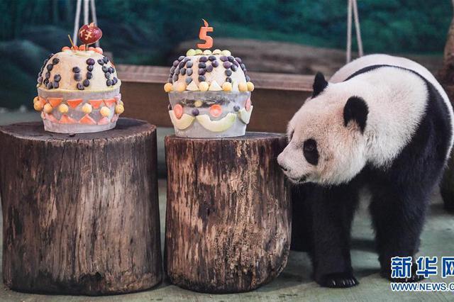 """台北:大熊猫""""圆仔""""迎来5岁生日"""