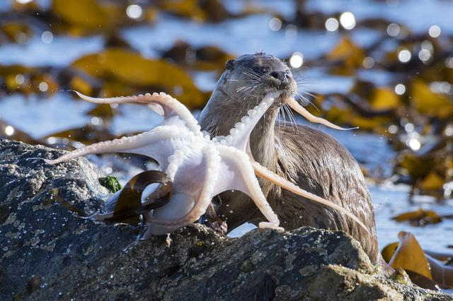 神烦!小水獭大快朵颐吃章鱼 被触角纠缠瞬间懵住