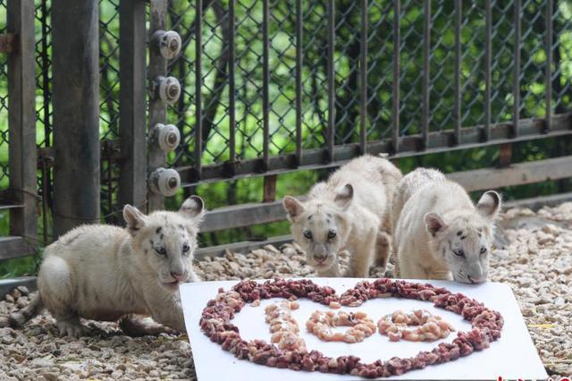 济南野生动物世界雪虎五胞胎庆百日