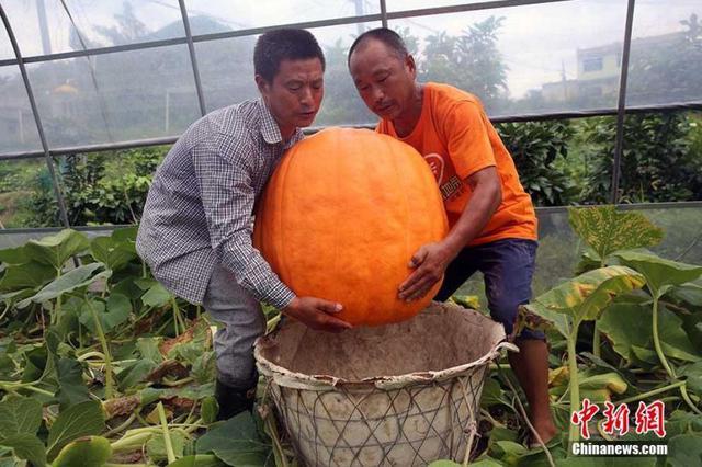 重庆农民收获87公斤重巨型南瓜 需两个壮汉抬起