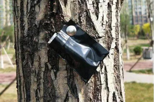 """沧州园林工人""""以虫治虫"""" 在树木上放了大量虫子"""