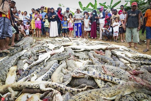 鳄鱼咬死村民 全村复仇屠杀近300条鳄鱼