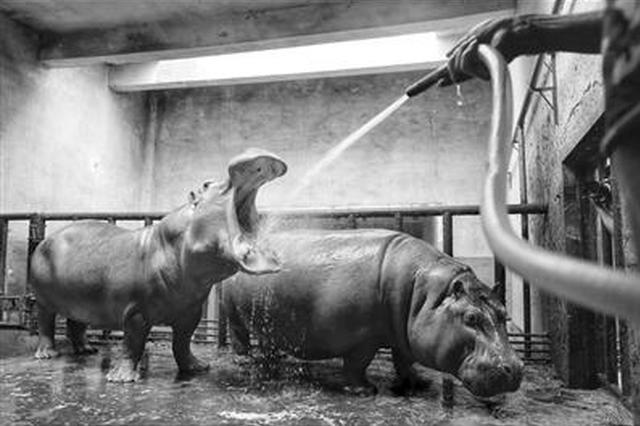 动物园花样避暑:熊猫抱冰块 大象一天吃50斤西瓜