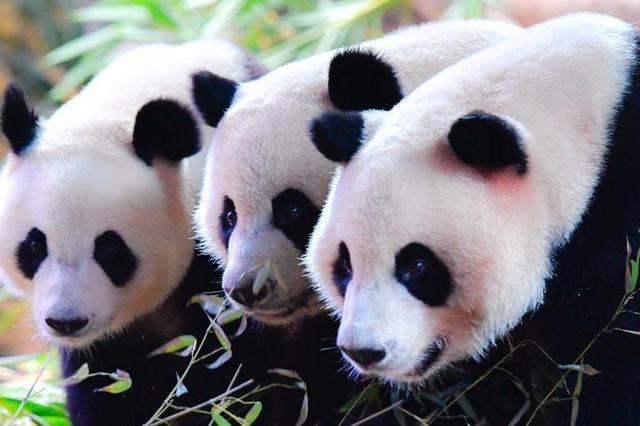"""全球唯一大熊猫三胞胎""""萌帅酷""""迎四岁生日"""