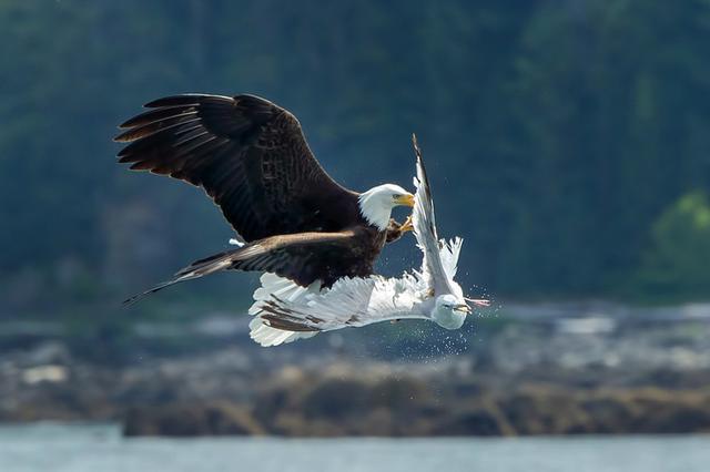 天生猎手!实拍阿拉斯加白头海雕半空捕食海鸥