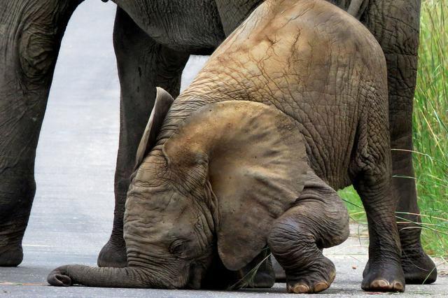 这些庞然大物其实很呆萌!大象脸朝地摔跤公路上做瑜伽