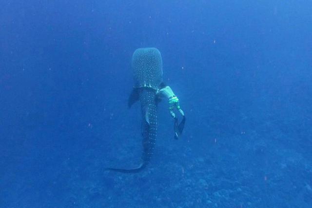 鲸鲨被鱼绳牢牢缠住身体 生物学家偶遇后助其脱困