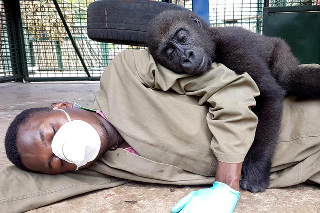 爱你就要抱着你!猩猩孤儿抱饲养员撒娇甜skr人
