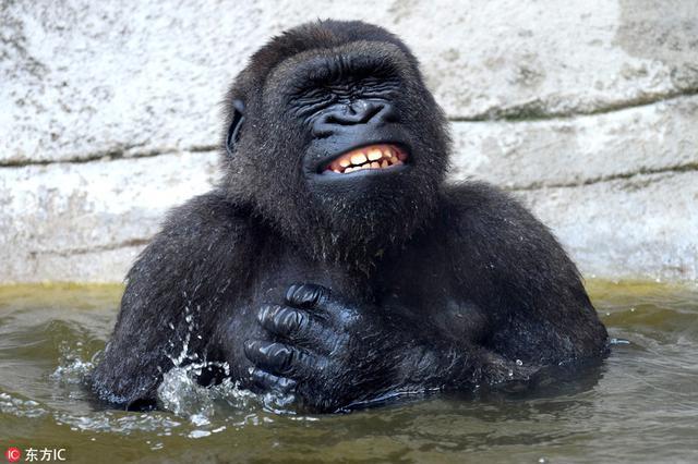 西班牙动物园大猩猩泡澡 表情享受至极