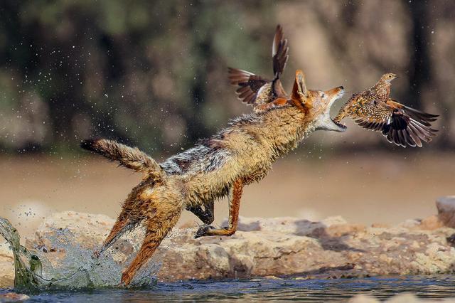 南非豺突袭捕食鸟儿 精准出击一举命中