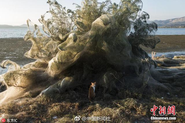 巨型蜘蛛网似翻滚泡沫 吞噬希腊海岸植被